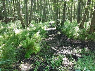 Darß Wald